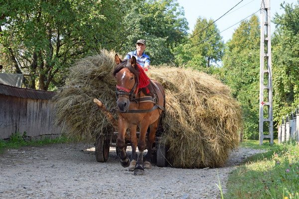 horse and cart with hay load in Maramures